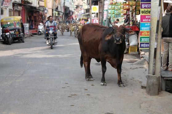 Vaca Udaipur