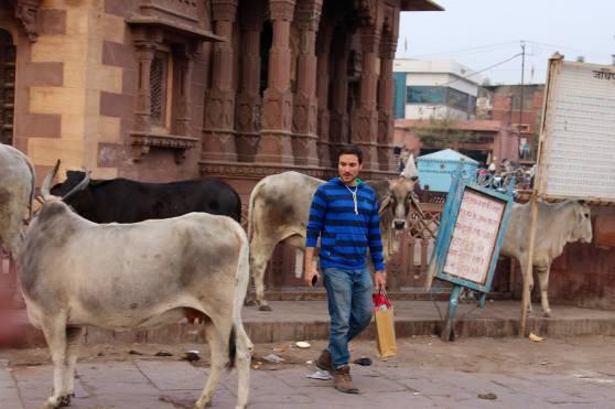 Vacas Jodhpur